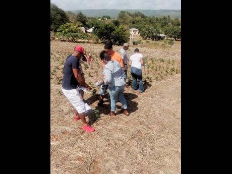 Contributed Famers from St Elizabeth and extension officers from the Rural Agricultural Development Authority working in the field.